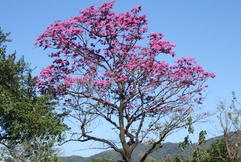 Árbol de hojas rosas, sólo dura un par de horas