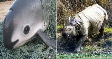 Hábitos de consumo en Asia ponen en riesgo a la vaquita marina y al rinoceronte