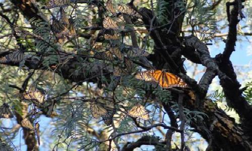 Disminuye degradación de la Reserva de la Biósfera de la Mariposa Monarca