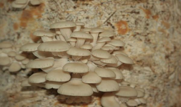 Producción de hongos seta crea círculo de sustentabilidad en bosques de Edomex