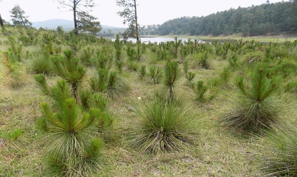 México incrementa sobrevivencia de árboles reforestados