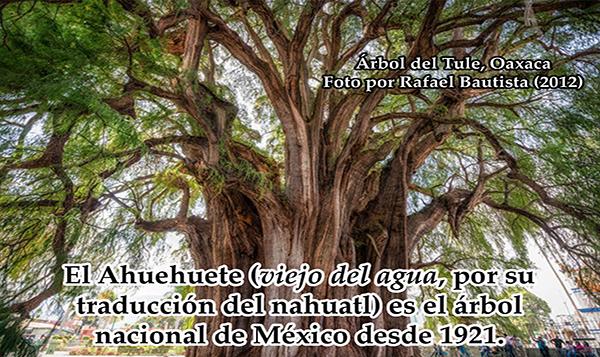 Preservan información genética de árboles de Ahuehuetes