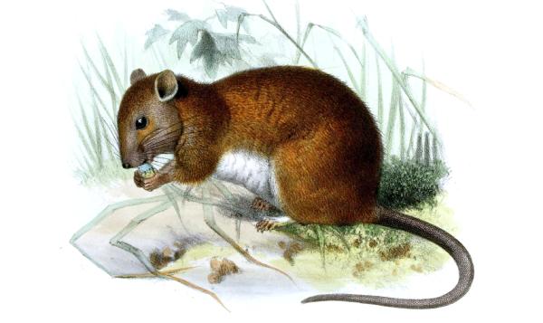 Se extingue primer mamífero a causa del cambio climático en Australia