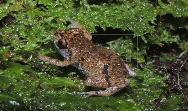 Diasporus amirae, nueva especie de rana descubierta en Costa Rica