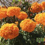 Flor de Cempasúchil. La flor que da la bienvenida a los muertos.